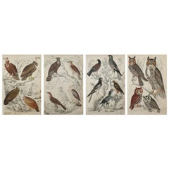 Set of 4 Original Antique Prints of Birds of Prey, 1830s