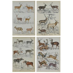 Set of 4 Original Antique Prints of Deer, 1830s