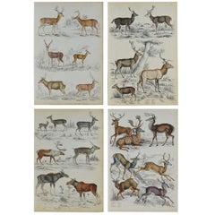 Set of 4 Original Antique Prints of Deer, 1830s