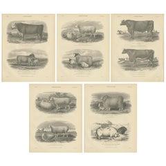 Set of 5 Antique Prints of Farm Animals Cow, Bull, Sheep, Pig, circa 1879