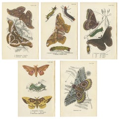 Set of 5 Antique Prints of Various Moths by Lloyd, circa 1897