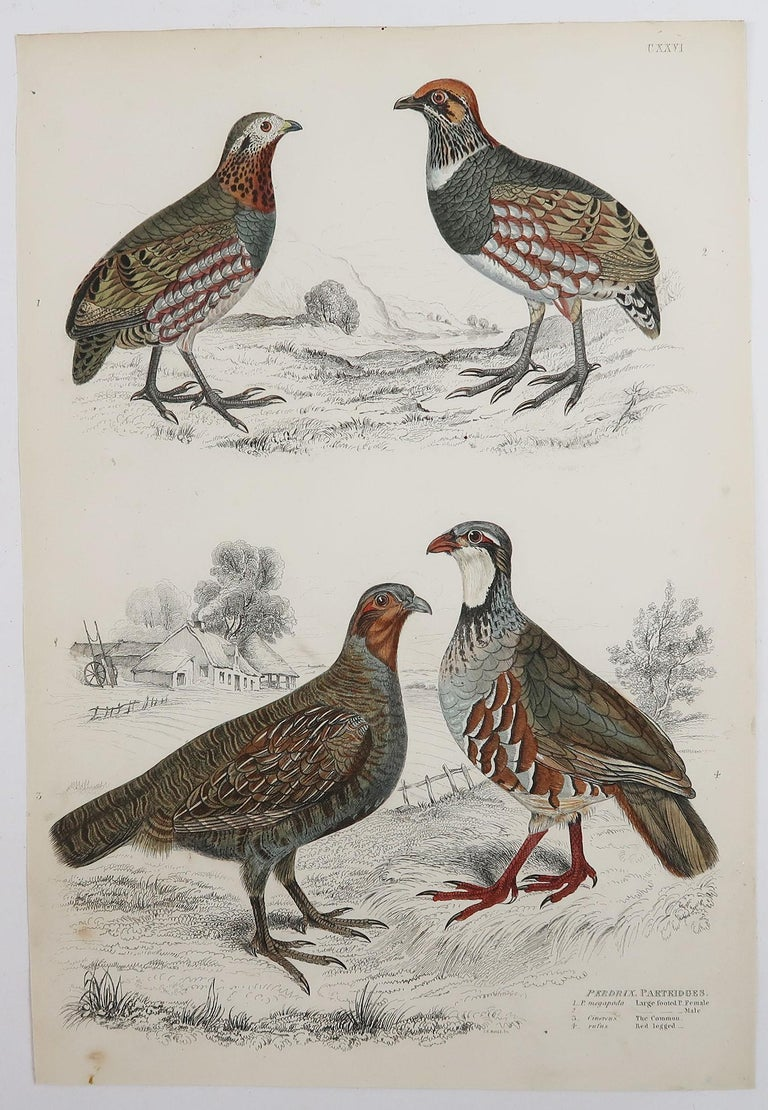 Great set of game birds. Partridge, Quails, Ptarmigan and Grouse. 