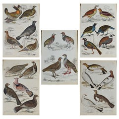 Set of 5 Original Antique Prints of Game Birds, 1830s