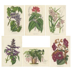 Set of 6 Antique Botany Prints, Wisteria, Scutellaria, Sage 'circa 1853'