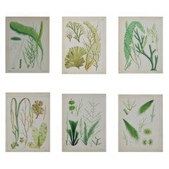 Set of 6 Antique Prints of Sea Plants, circa 1850