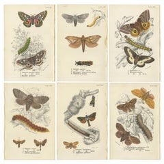 Set of 6 Antique Prints of Various Moths by Lloyd (Circa 1897)