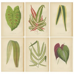 Set of 6 Botany Prints, Caladium Verschaffelt, Cordyline Indivisa, 1891