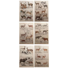 Set of 6 Original Antique Prints of Deer, 1830s