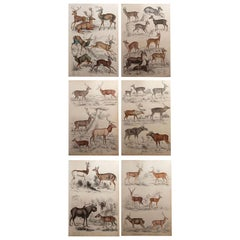 Set of 6 Original Antique Prints of Deer, 1830s
