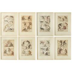 Set of 8 Antique Monkey Prints in Faux Ivory Frames, 1830s