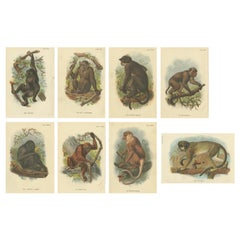 Set of 8 Antique Prints of Various Monkey Species by Lloyd, 'circa 1894'