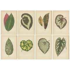 Set of 8 Botany Prints, Begonia Rex, Cissus Discolor '1891'