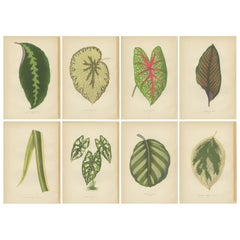 Set of 8 Botany Prints, Maranta Fasciata, Caladium Argyrites '1891'