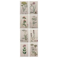 Set of 8 Original Antique Botanical Prints 'Herbs', circa 1850