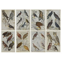 Set of 8 Original Antique Prints of Birds of Prey, 1830s