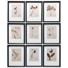 Set of 9 Pressed Botanical Specimens