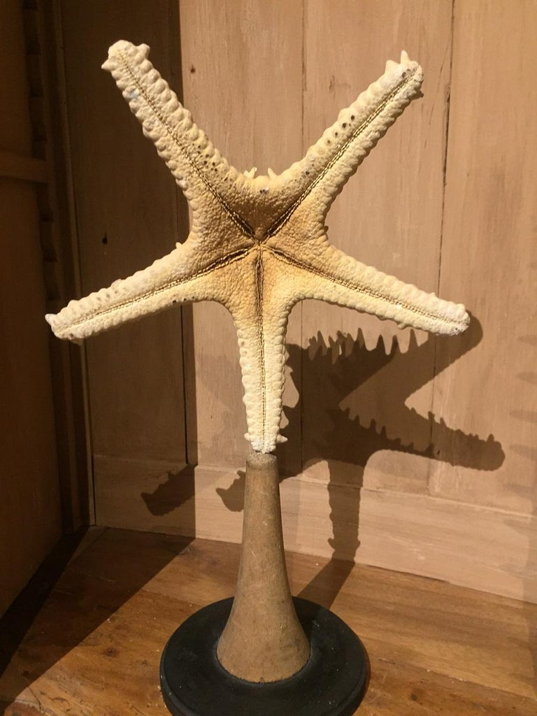Mid-20th Century Set of Early 20th Century Seastars and Shells For Sale