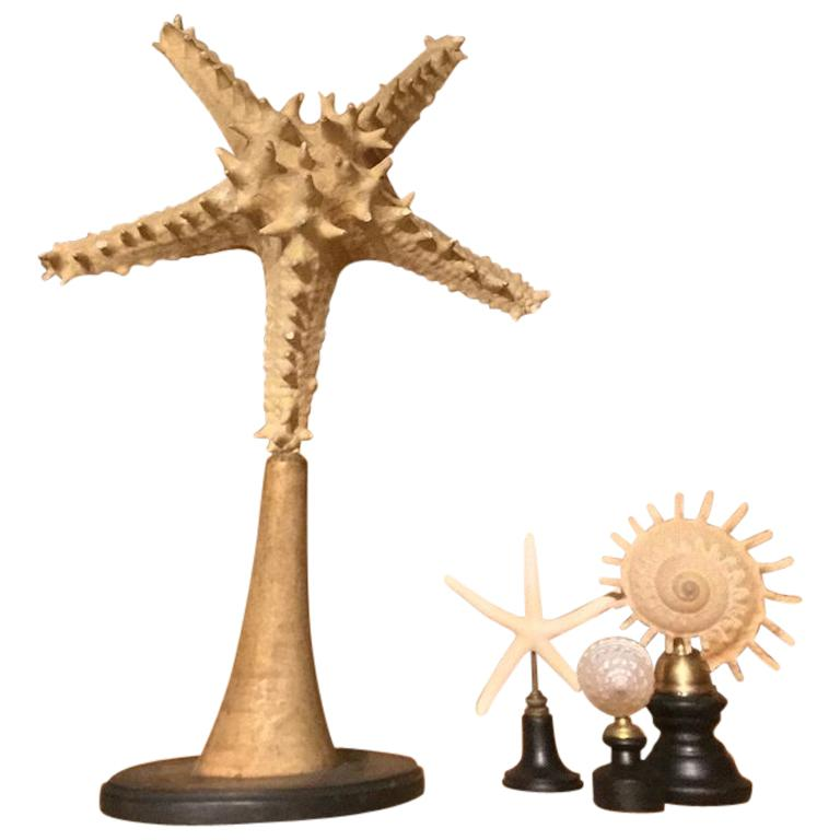 Set of Early 20th Century Seastars and Shells For Sale