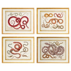 Set of Four 18th Century Albertus Seba Hand Colored Serpents, Snakes