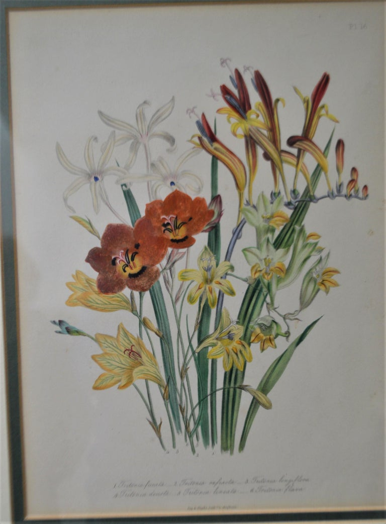 Set of Four 19th Century Botanical Lithographs, Hand Painted, Gilded Frames For Sale 1