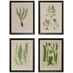 Set of Four 19th Century English Victorian Nature Printed Ferns in Black Frames