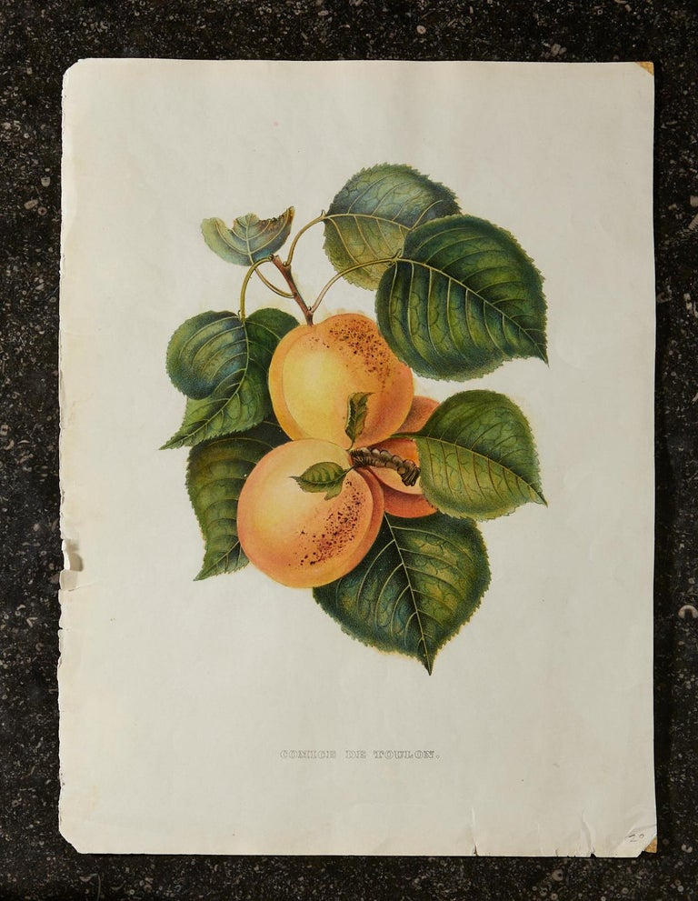 Set of Four 19th Century Hand-Colored Botanical Fruit Prints For Sale 5