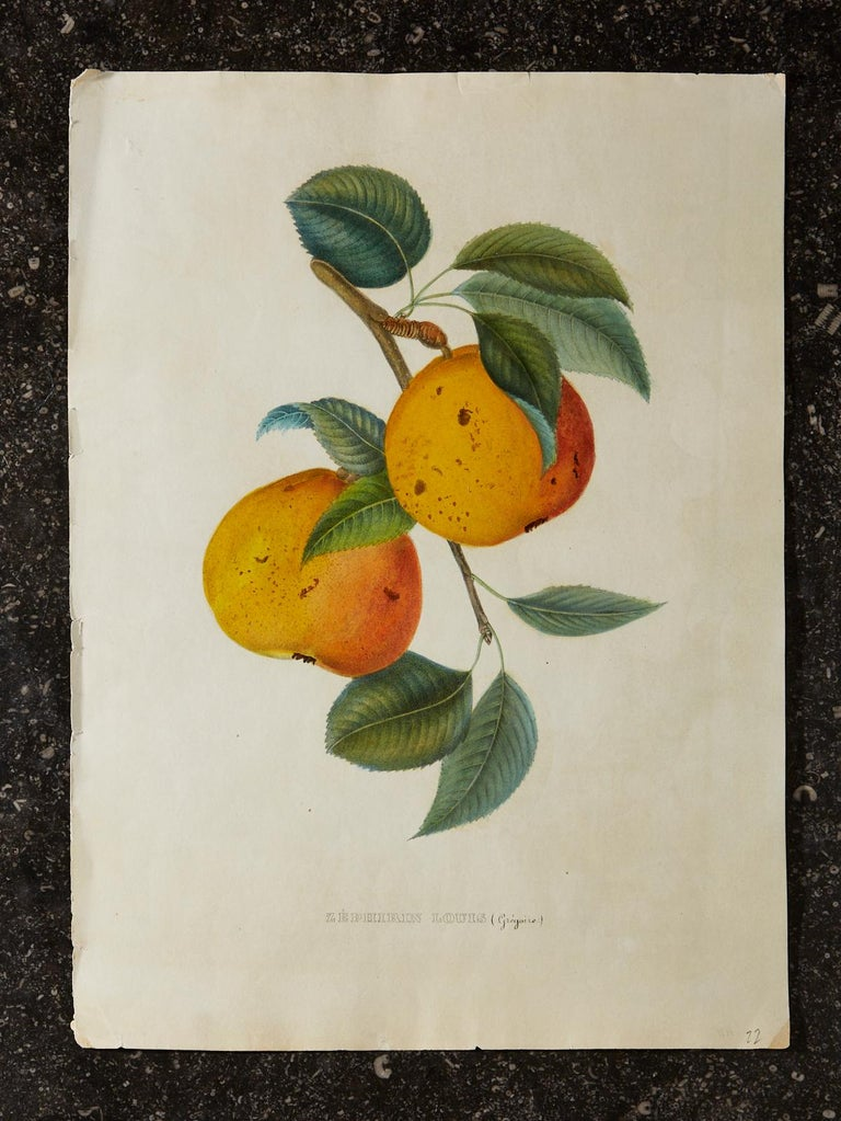 Set of Four 19th Century Hand-Colored Botanical Fruit Prints For Sale 6