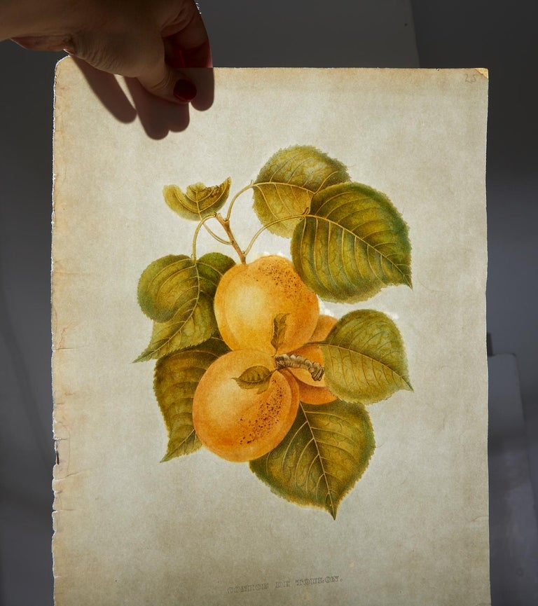 Set of Four 19th Century Hand-Colored Botanical Fruit Prints For Sale 1