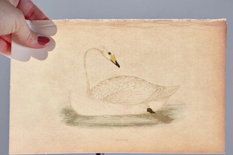 English Set of Four 19th Century Swan Wood Block Prints