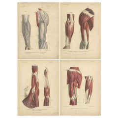 Set of Four Antique Prints of Human Arms by Kuhff, 1879