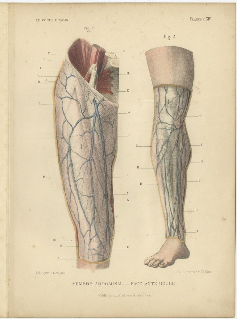 Set of four antique anatomy prints titled 'Membre Abdominal'. Colored lithographs of human legs with superimposed flaps. These prints originate from 'Le Corps Humain' by G.A. Kuhff. Illustrated by Edouard Cuyer.