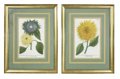Pair of Hand Colored Botanical Engravings of Sunflowers