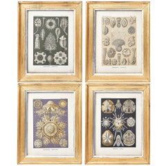 "Set of four Lithographs From ""Art forms in Nature"" by Ernst Haeckel, 1899"