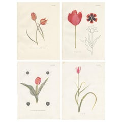 Set of Four Vintage Tulip Prints by Dykes '1930'