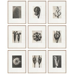 Set of Karl 9 Blossfeldt Black White Flower Photogravure Botanic Photography