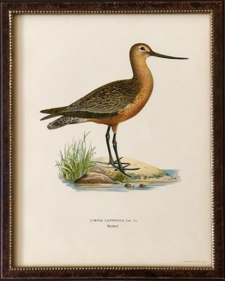 Water Bird Zoological Chromolithograph from the 1905 International Encyclopaedia