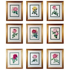 Set of Nine Botanical Engravings of Roses, Henry Curtis-The Beauty of the Rose