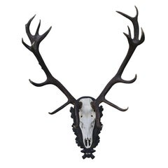 Set of Red Deer Antlers and Scull on Carved Wooden Board