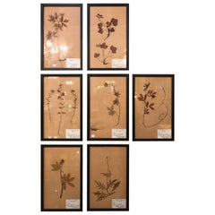 Set of Seven Framed Under Glass Botanicals
