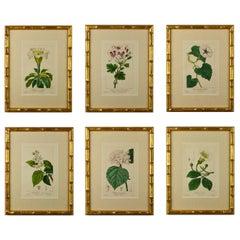 Set of Six 19th Century Bessa Botanical Engravings
