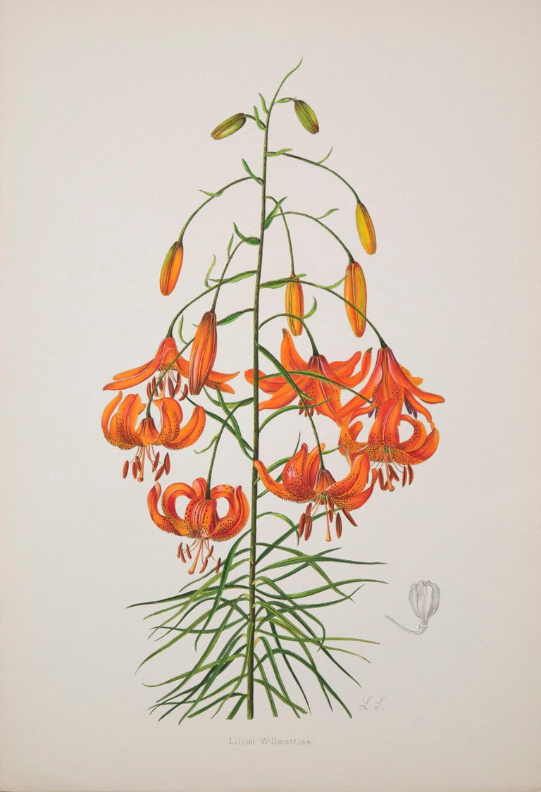 A rare set of six of exceptional quality 19th century botanical prints from A Monograph of the Genus Lilium, London: Taylor and Francis, 1877-1880.  Lithographs with originalhand-colouring.  Why we like them Exquisitely hand-coloured, vibrant