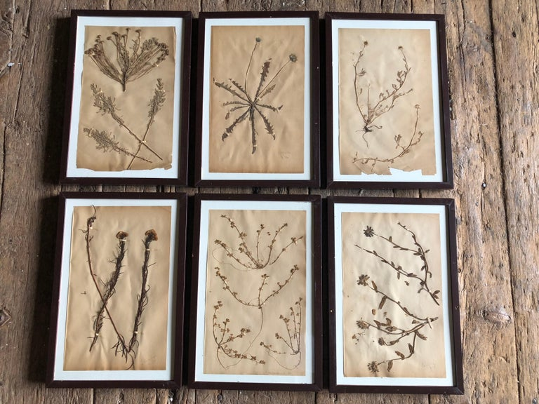 Set of Six Pressed Herbal Specimen For Sale 7