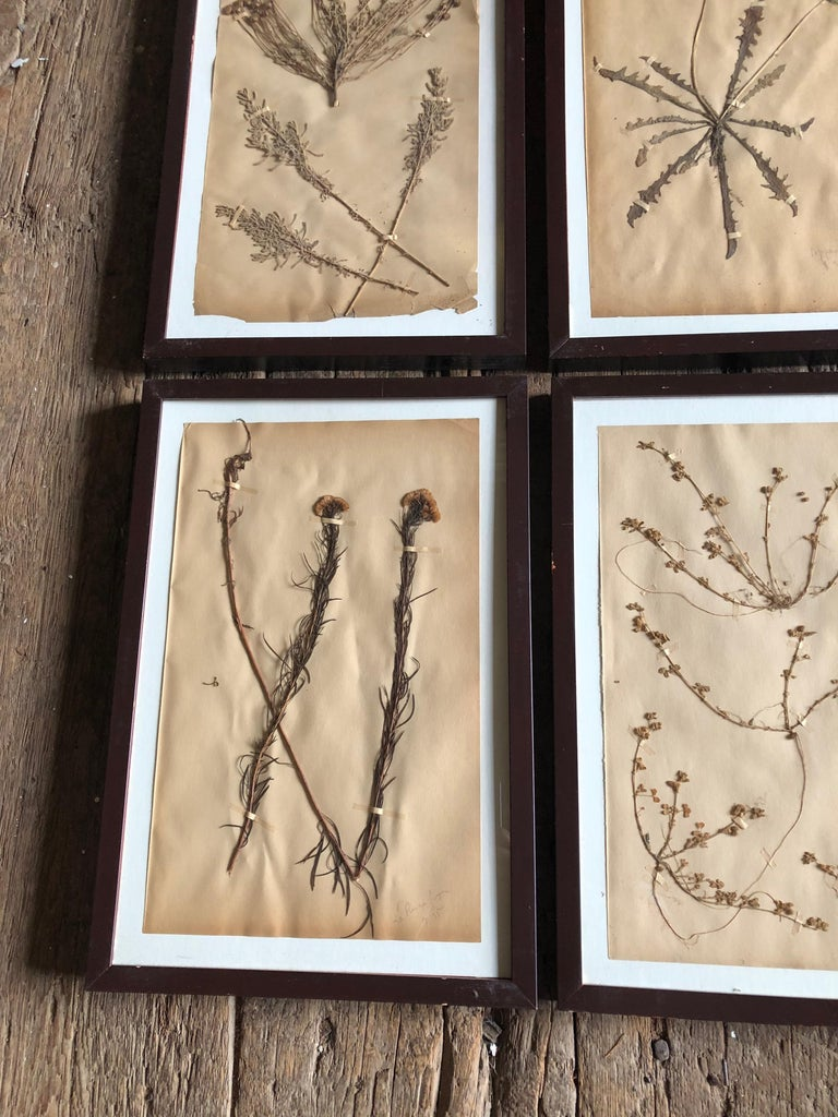 Set of Six Pressed Herbal Specimen For Sale 8