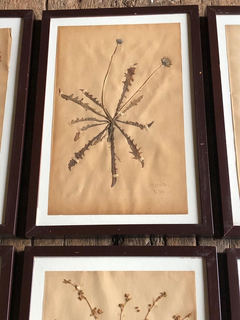 Set of Six Pressed Herbal Specimen For Sale 9