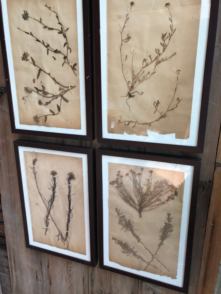 French Set of Six Pressed Herbal Specimen For Sale