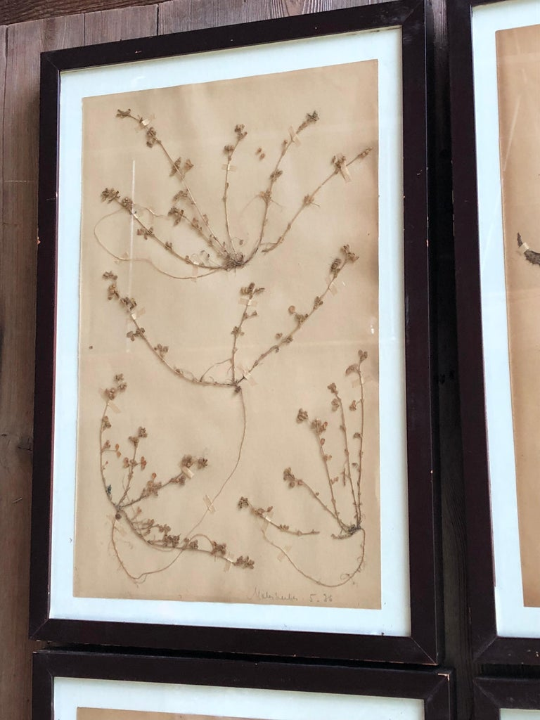 Set of Six Pressed Herbal Specimen In Good Condition For Sale In Doylestown, PA