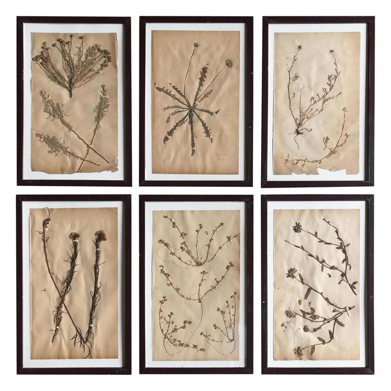 Set of Six Pressed Herbal Specimen For Sale