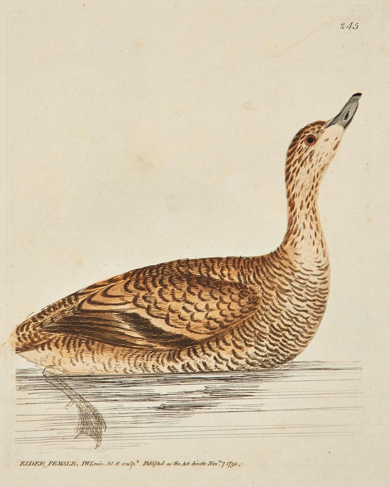 Set of Sixteen 18th Century Bird Etchings by William Lewin For Sale 7