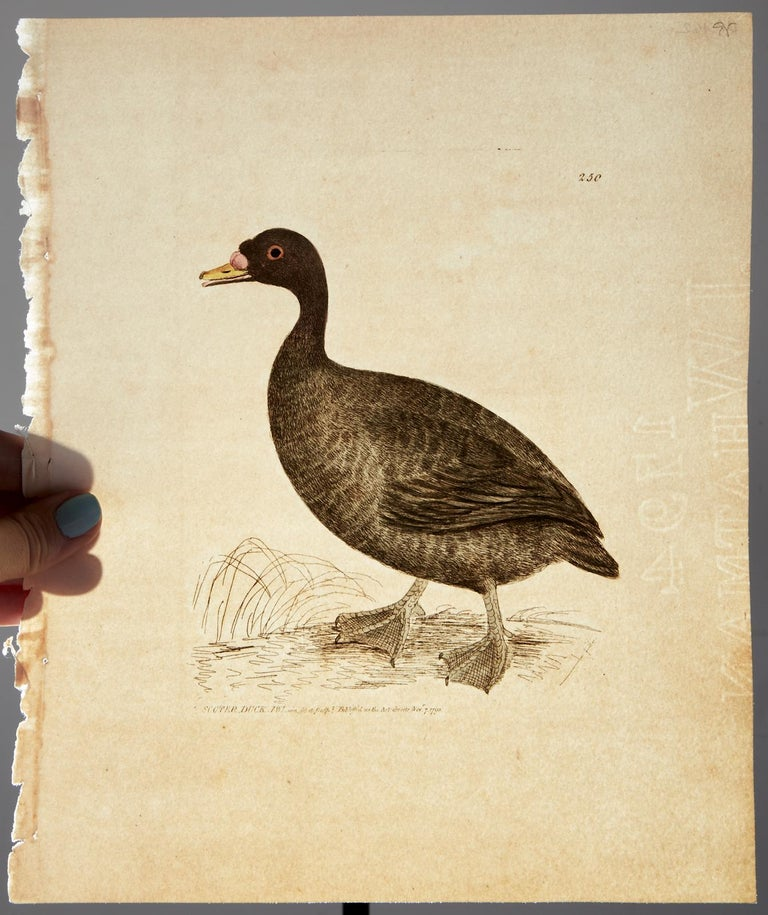 Set of Sixteen 18th Century Bird Etchings by William Lewin For Sale 10