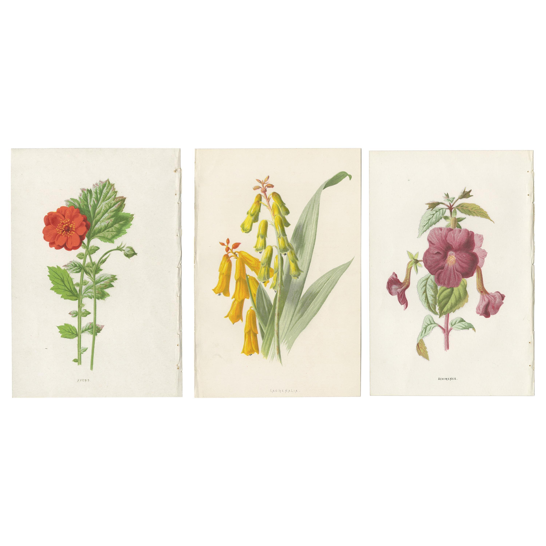 Set of Three Botany Prints Avens, Lachenalia, Achimenes